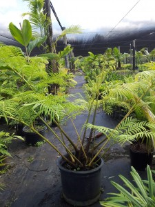 Angiopteris evecta giant fern 25 gal