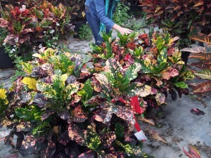 Croton Magnificent 14 inch