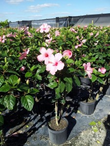 Hibiscus pink std 10 inch