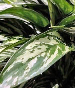 Aglaonema Tigress