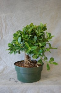 Ficus Green Island Bonsai